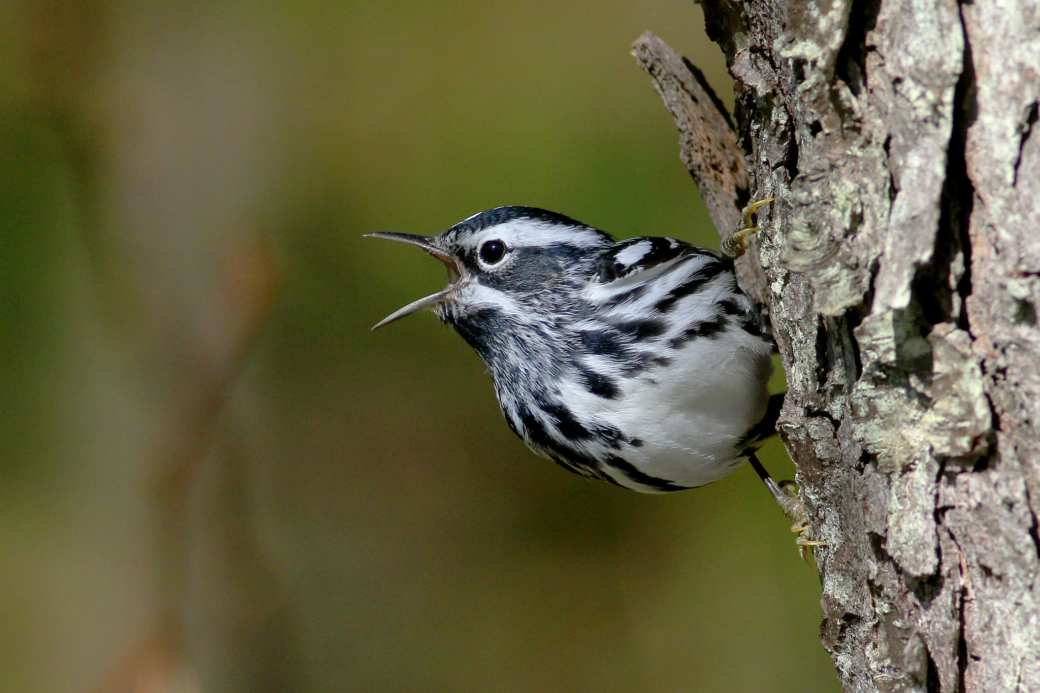 Black-and-white Warbler -  Tyler Pockette