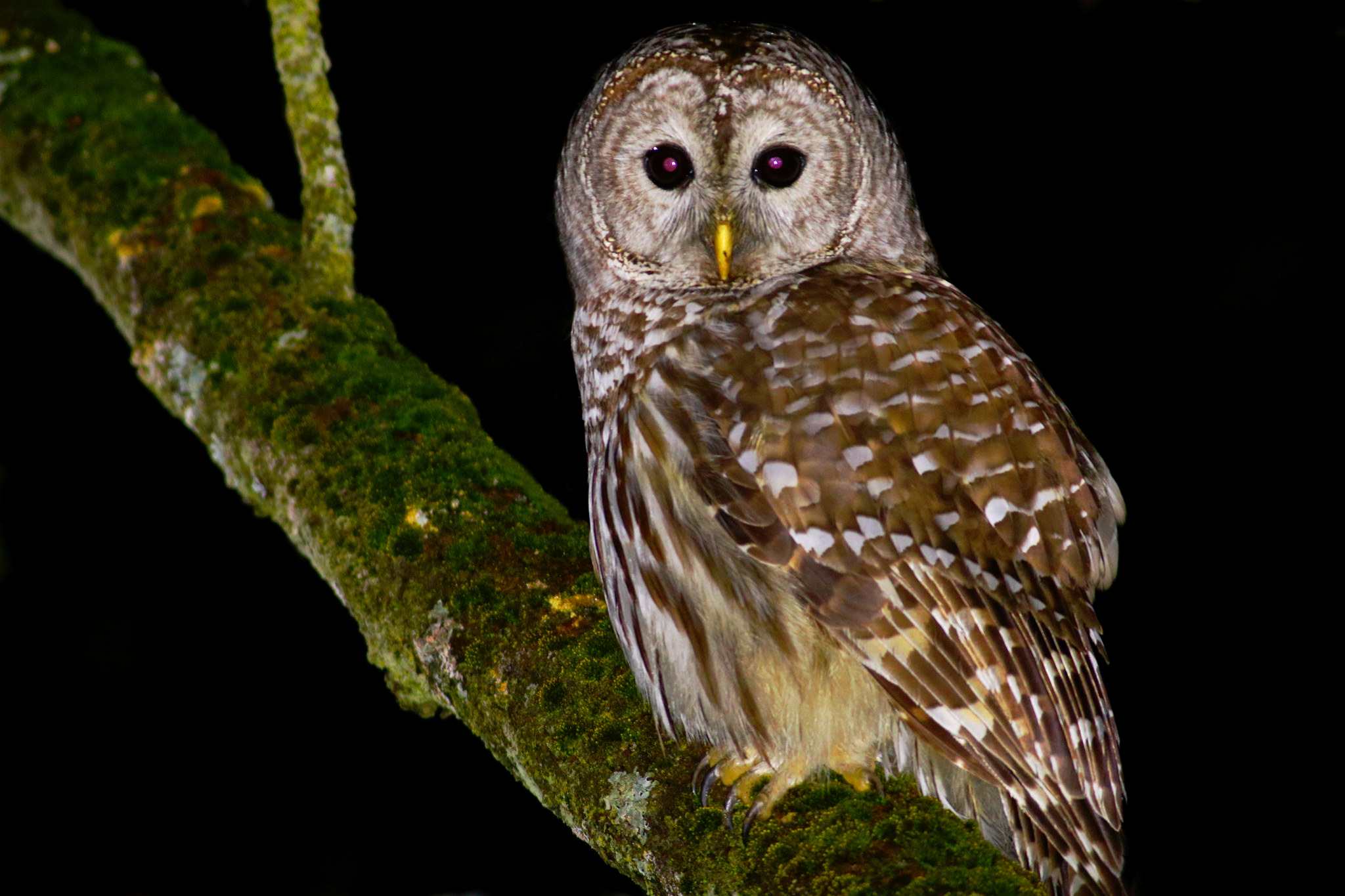 Barred Owl - found just before dawn.  Photo: Tyler Pockette