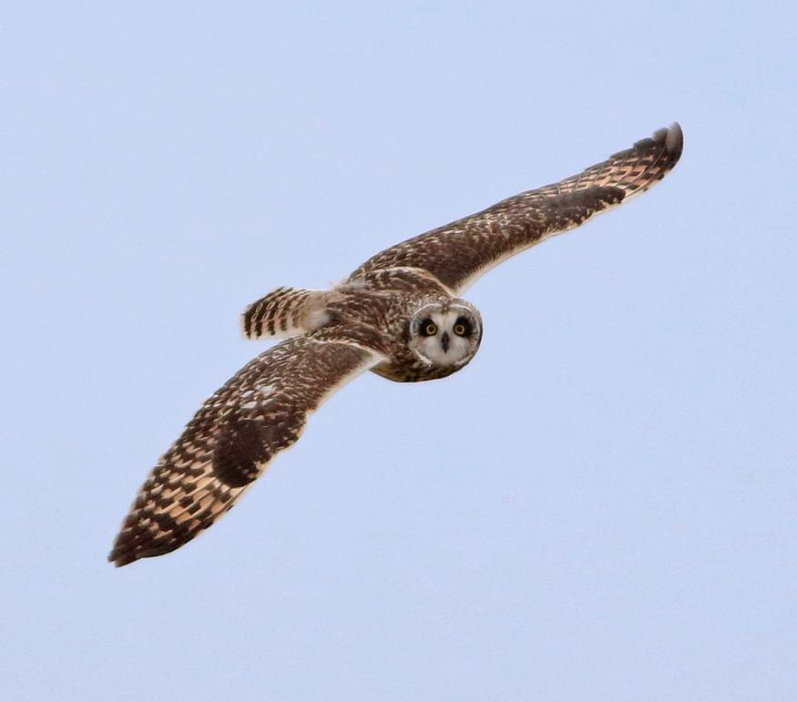 Short-eared Owl.  Photo: Keenan Yakola