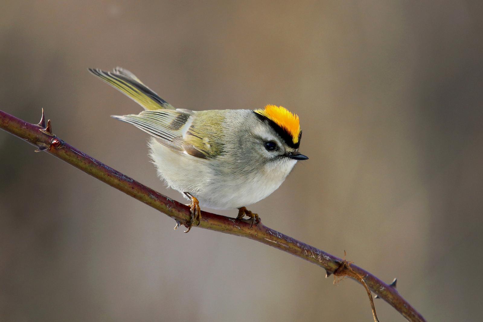 "Golden-crowned Kinglet, ""nemesis"" bird of the day.  Photo: Tyler Pockette"