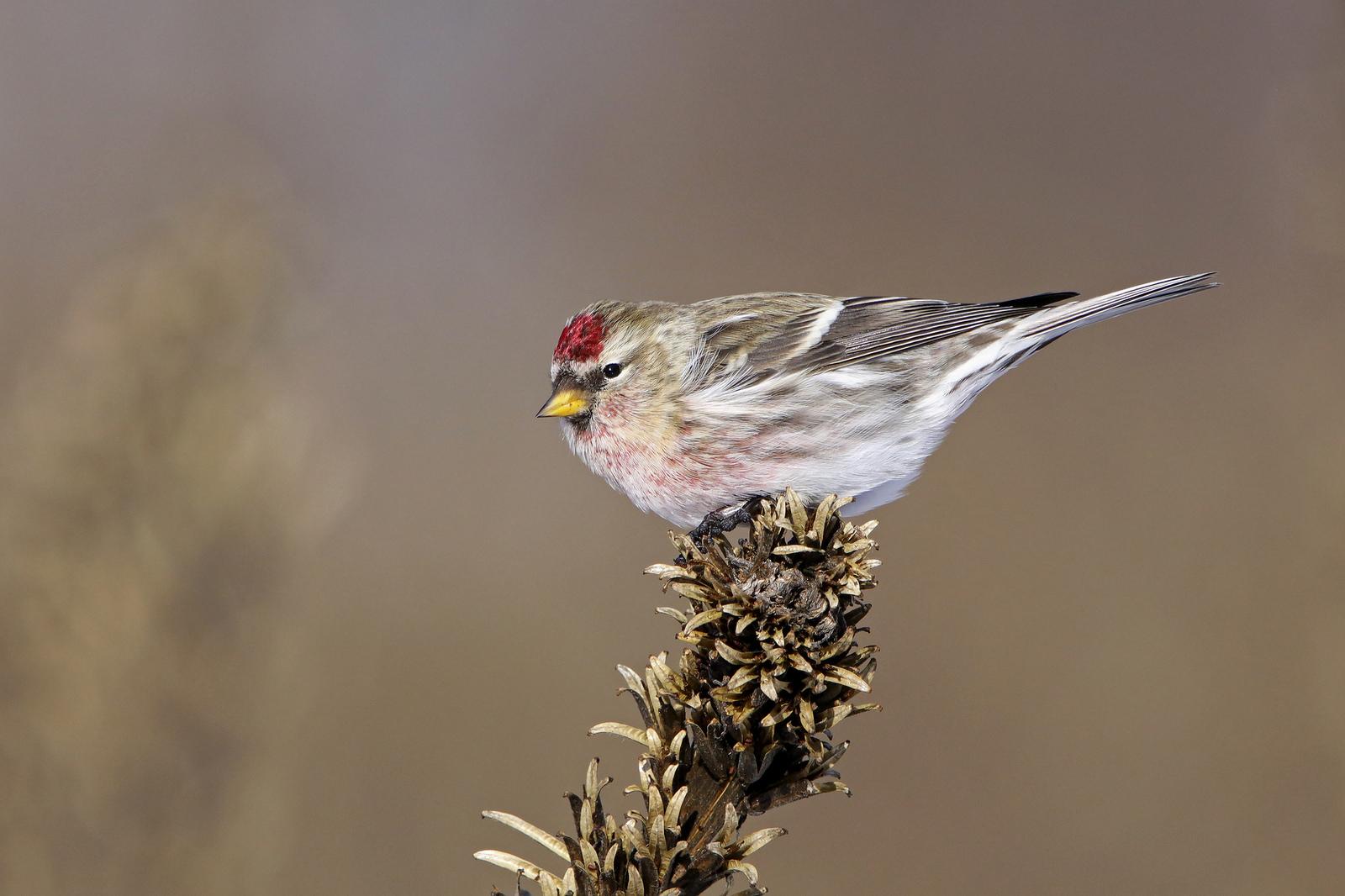 Common Redpoll.  Photo: Tyler Pockette