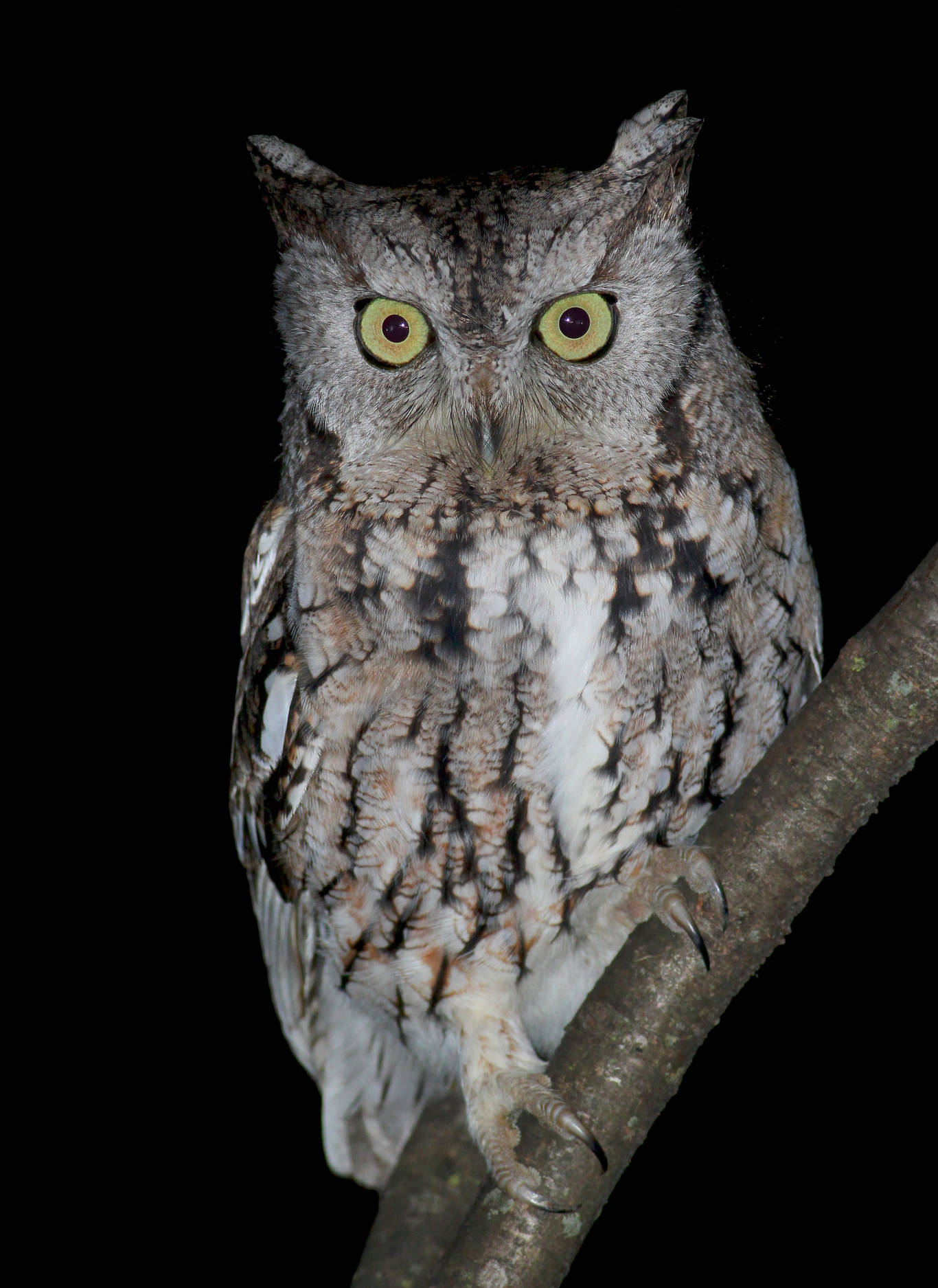 Eastern Screech-Owl, encore to the day.  Photo: Tyler Pockette