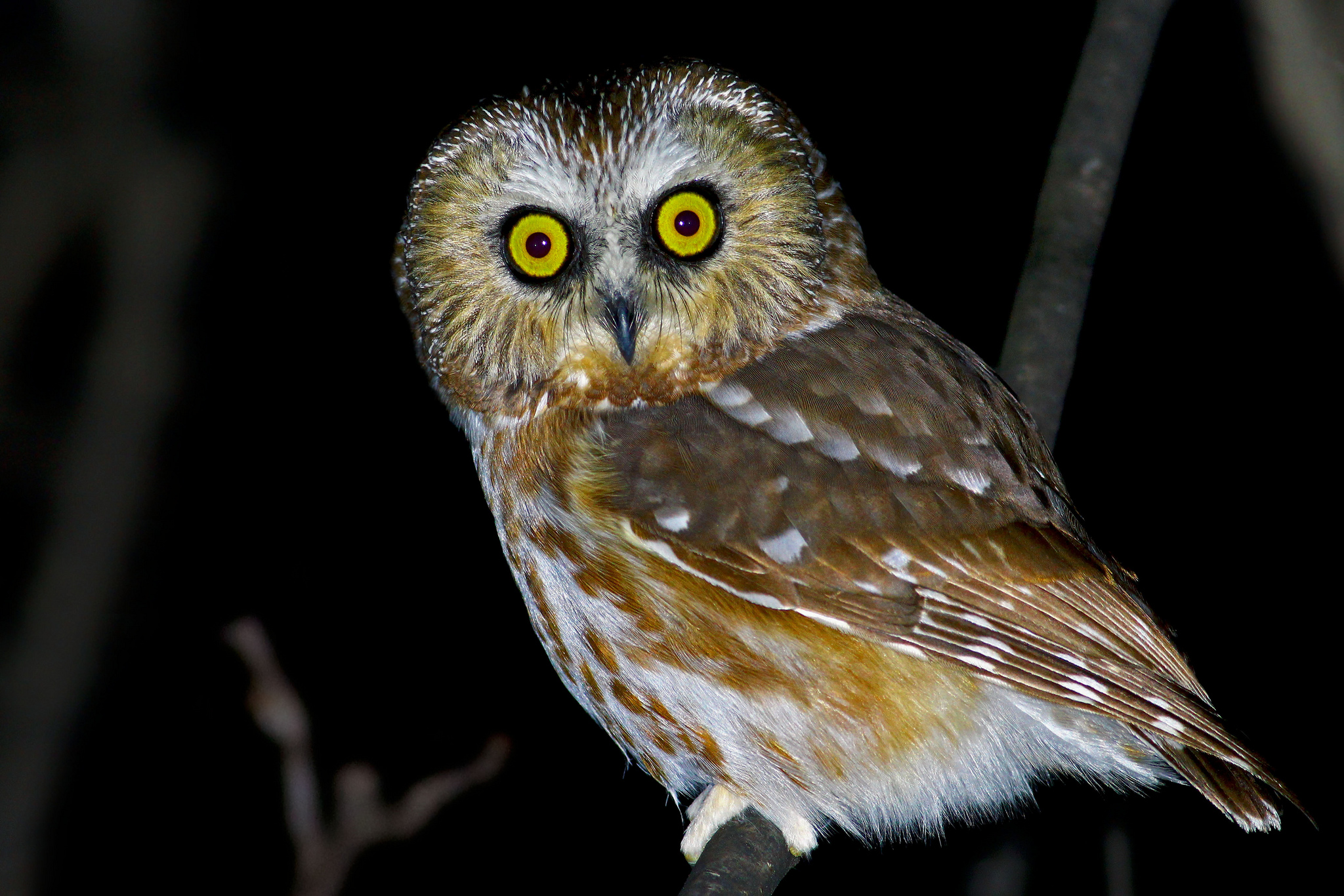 Northern Saw-whet Owl -  Tyler Pockette