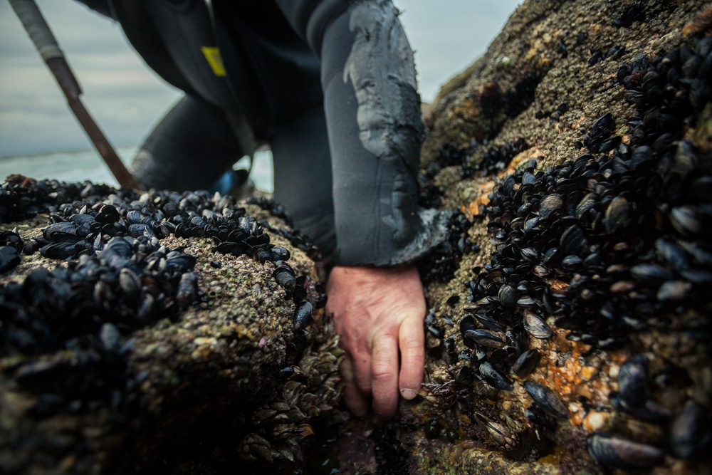 December 19, 2011 - Laxe (La Coruña). Percebes grown in the gaps between rocks and sometimes the only way to harvest them is by hand. © Thomas Cristofoletti 2011