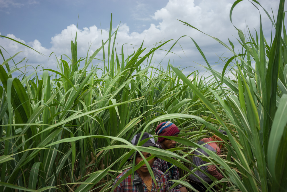 August 19, 2015 - Pis Village - Omlaing (Cambodia). Villagers from Pis Village at work in the plantation. During the raining season, workers are paid less than 3 USD a day to clean and fertilize the sugar canes. © Thomas Cristofoletti / Ruom for OXFAM Australia