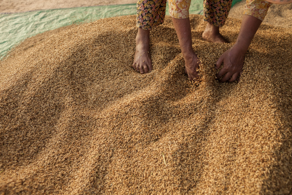 November 29, 2013 - Lvea village, Seang kveang Commune - (Prey Veng). A farmer dries rice grains after they have been separated with a threshing machine. © Thomas Cristofoletti / Ruom for UNDP