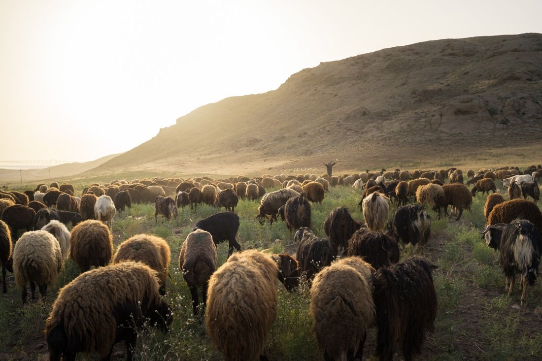 June 8, 2014 - Urmia (Iran). A sheperd with his sheeps around Urmia lake. Today, the lake is a shadow of its former self. Decades of poor water management, aggressive agricultural policies and drought have rendered it almost completely dried up. © Thomas Cristofoletti / Ruom
