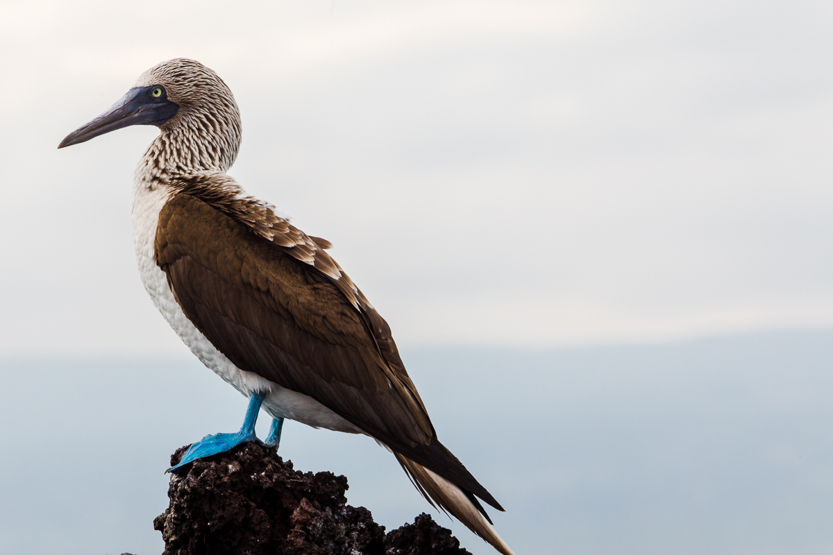 Enjoy this image of a blue footed booby to simulate us waiting. I promise this is a much more enjoyable way to wait!
