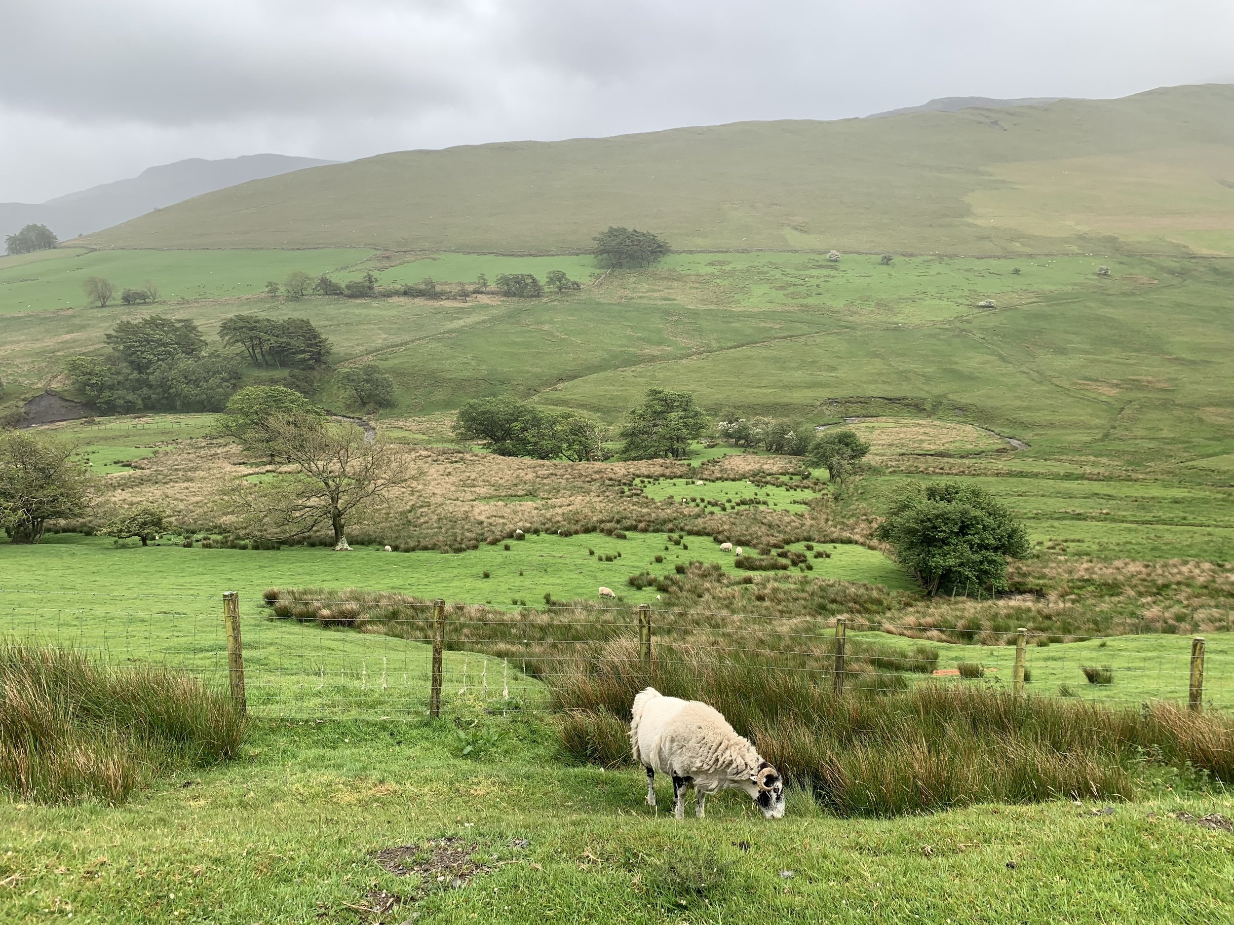 Oh, you know, just some sheep grazing in the field. Driving through the Lake District enroute to Scotland.