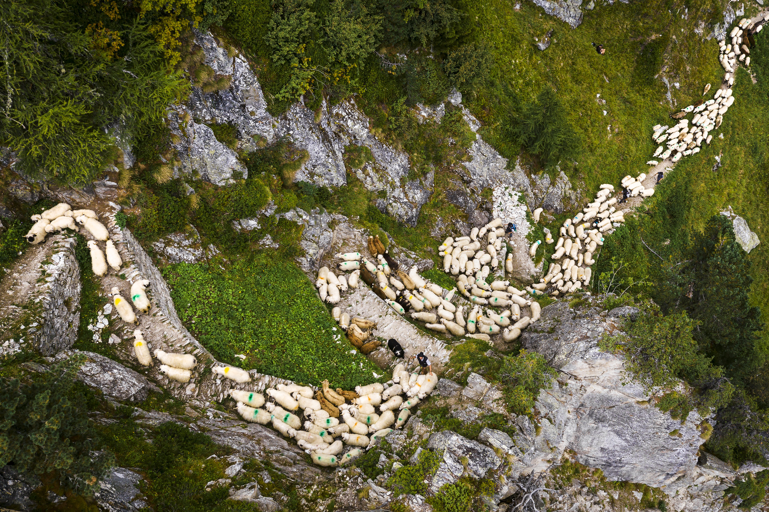 """A flock of alpine sheep are lead on a steep mountain path on their way to Belalp near Blatten, Switzerland, Saturday August 26, 2017. Shepherds are celebrated over the traditional shepherd weekend, known as """"Schaeferwochenende"""", after leading almost 800 sheep during a three-day hike from the summer pastures, high above the Aletsch glacier, down to Belalp in the canton of Valais for the winter season. (KEYSTONE/Valentin Flauraud)"""
