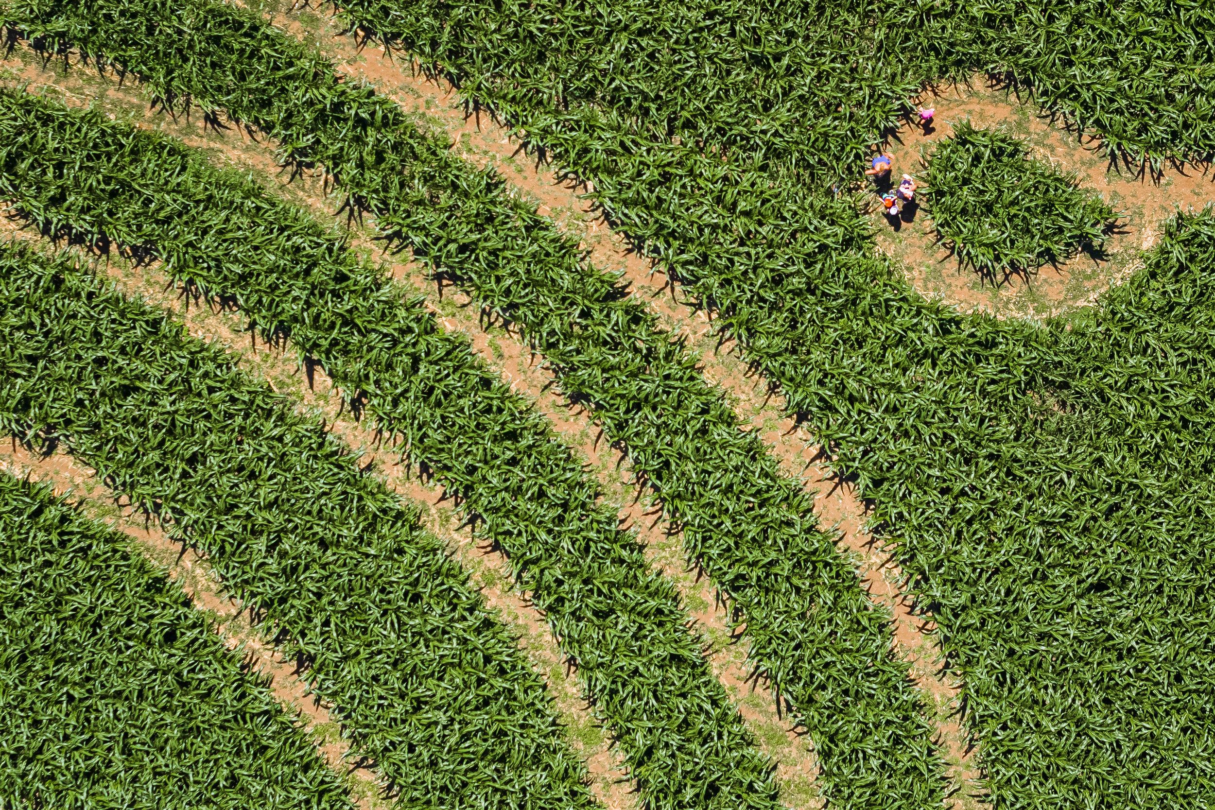 Visitors make their way through a 20'000 square-meter corn maze in Le Landeron in the Canton of Neuchatel, Switzerland, Switzerland, Sunday, July 1, 2018. (KEYSTONE/ Valentin Flauraud)