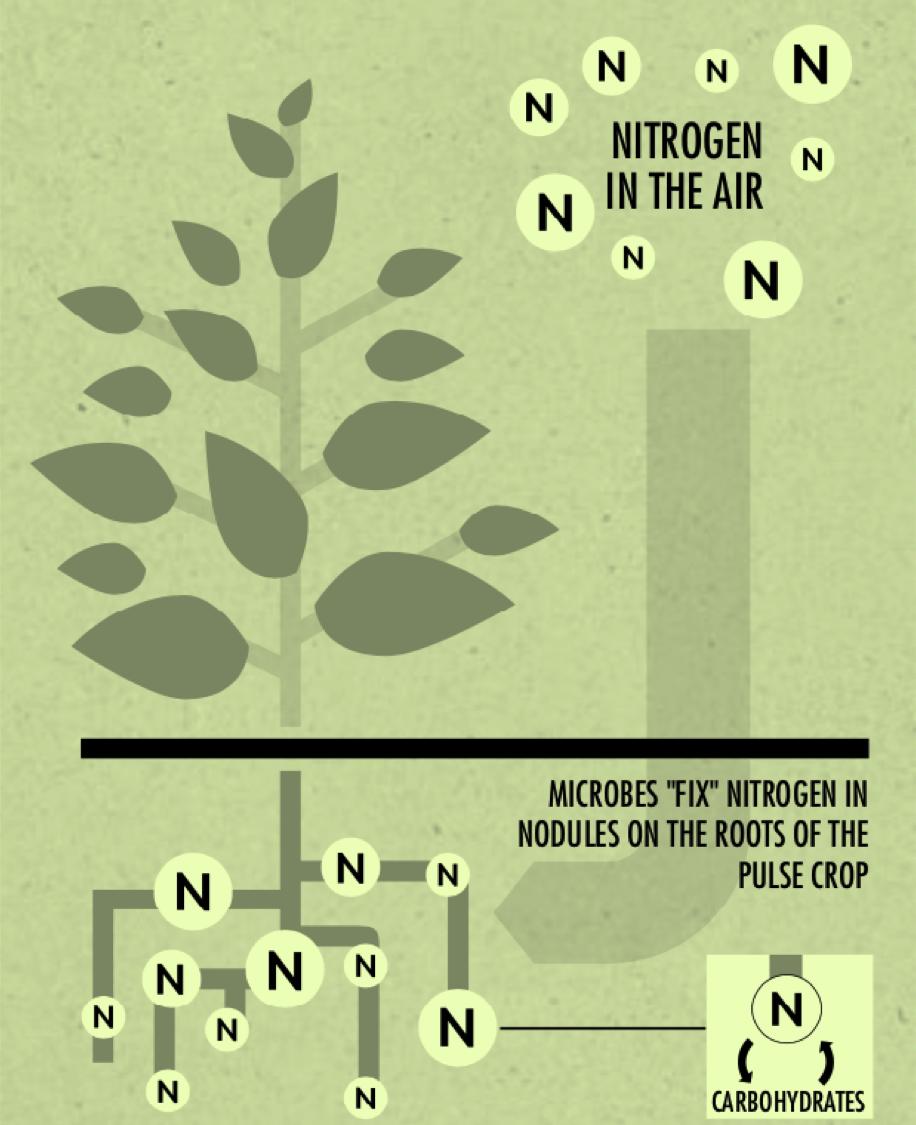 nitrogen fixing plant.png