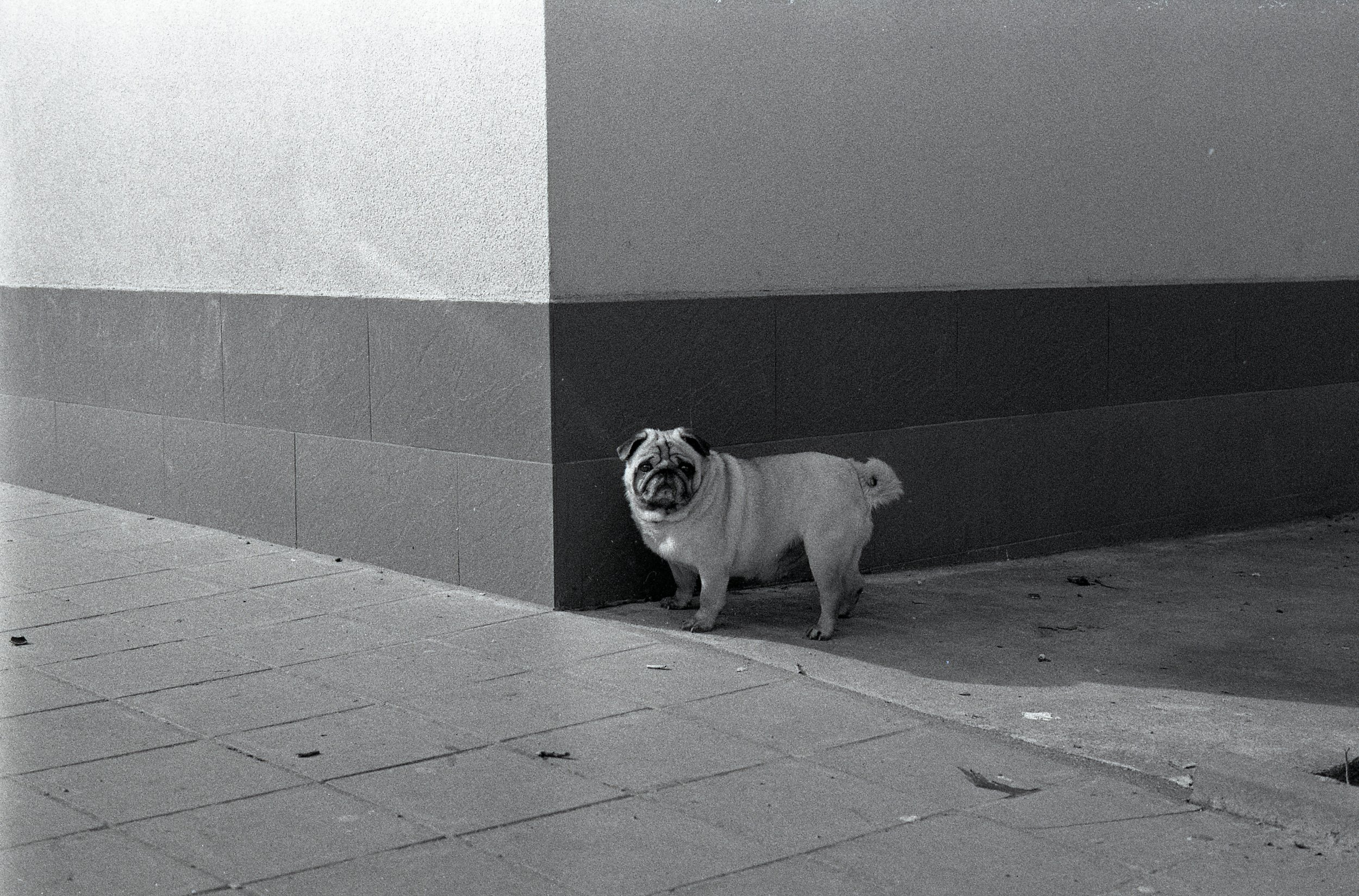 A lonely wee pug on the street in Pleven, Bulgaria (2018) - Ilford HP5