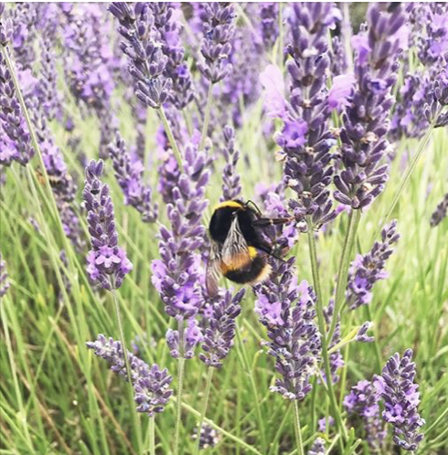 bees and lavender.png