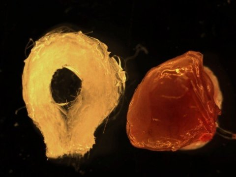 Biodegradable scaffold (left) and human tissue-engineered liver (right). Credit: The Saban Research Institute at Children's Hospital Los Angeles