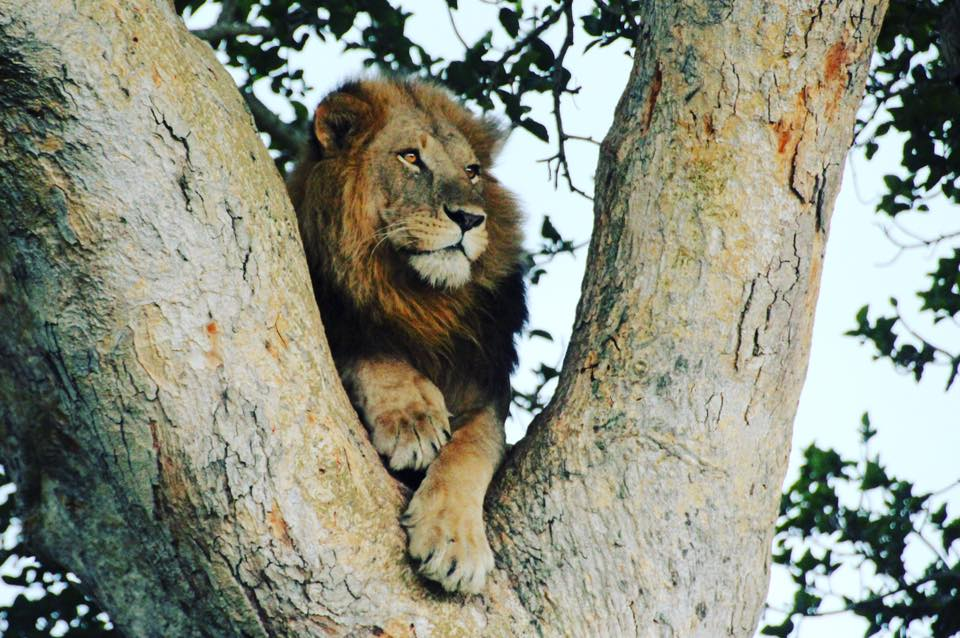 TreeLionIshashaSarahCockle.jpg