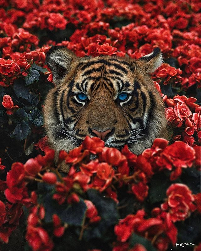 I love the surreal work of #karencantuq  #Repost @karencantuq ・・・ *internally screaming* _ counting the days, 11:04 am 🖤 #wearemadeofstoriesbyk  #tiger #flowers