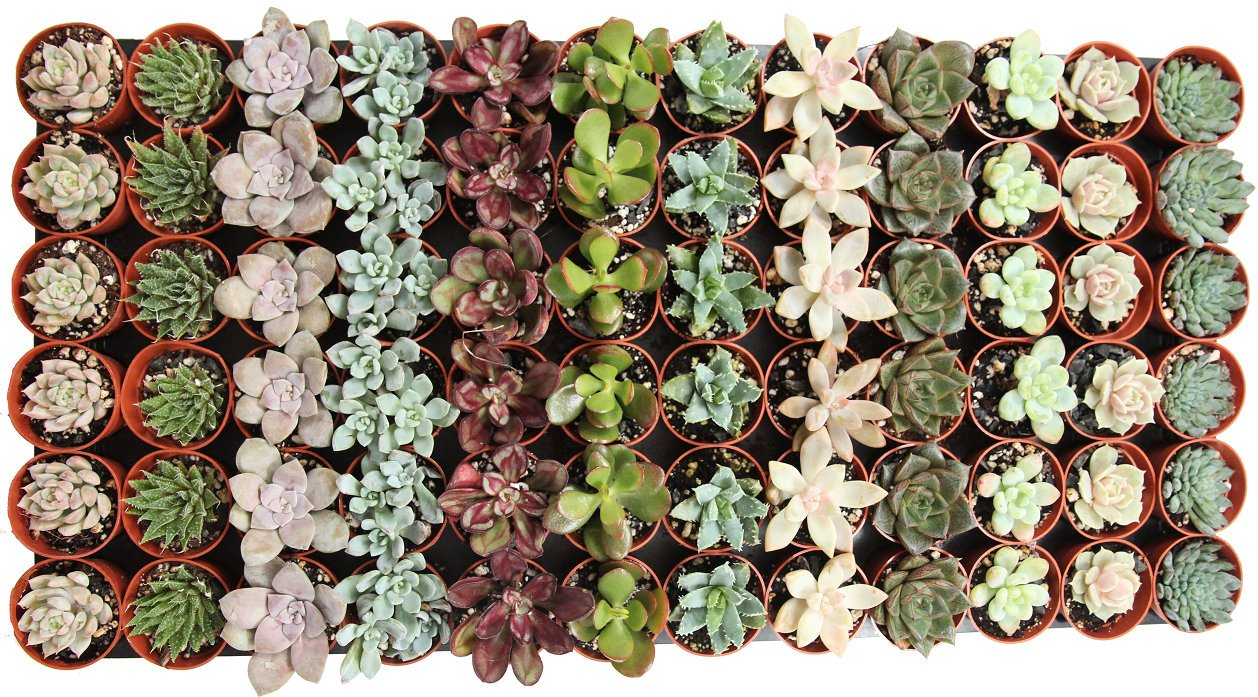 72 Pack Mini Assorted Succulents Perfect for Fairy Gardening & Wedding Favors.jpg