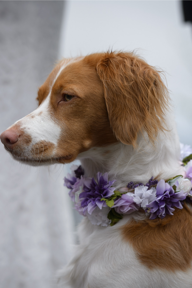 Romantic Elopement with Lavender Tones at Tin Poppy Retreat in British Columbia dog purple glowers.png