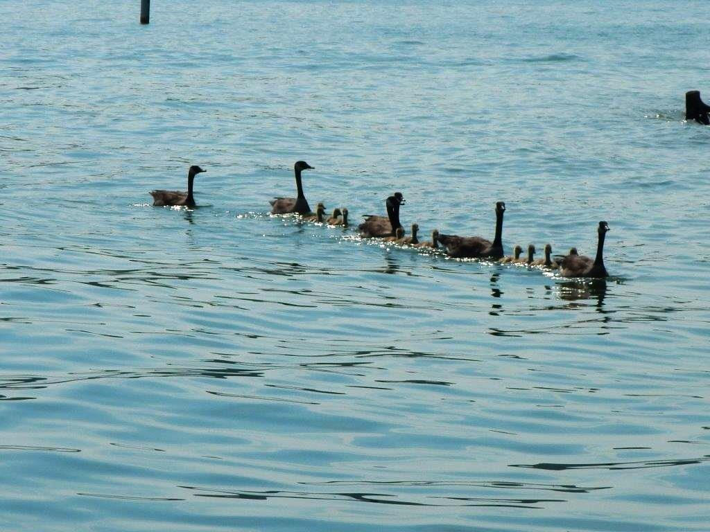 Momma and Baby Geese on the lake (2016_06_08 15_56_07 UTC).jpg