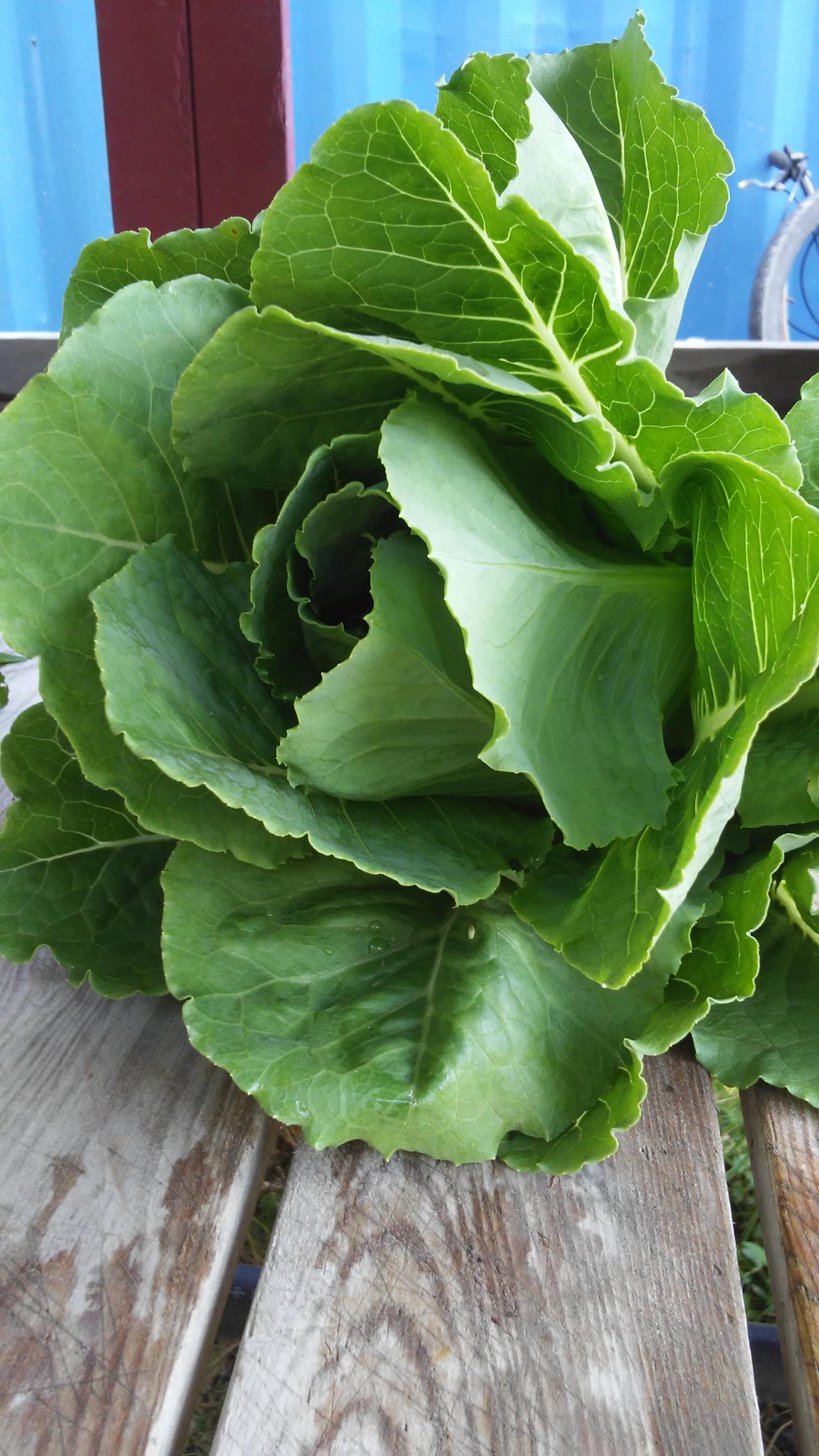 head lettuce.jpg