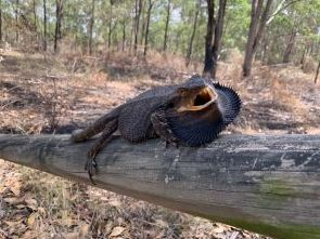 The bearded dragon is becoming increasingly rare in western Sydney. (Photo: The Good Oil)