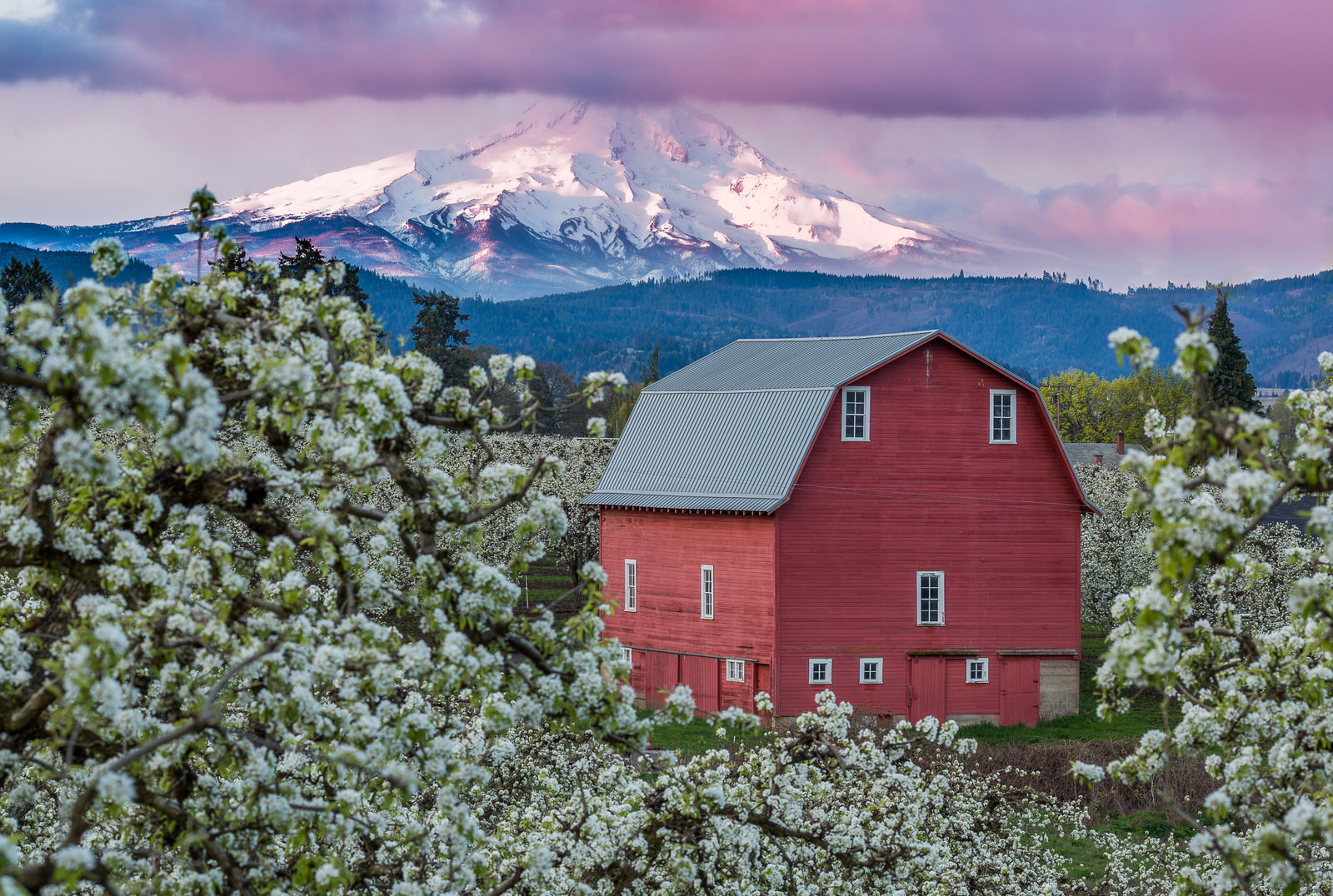 Blossoms surround the Laraway barn in Hood River