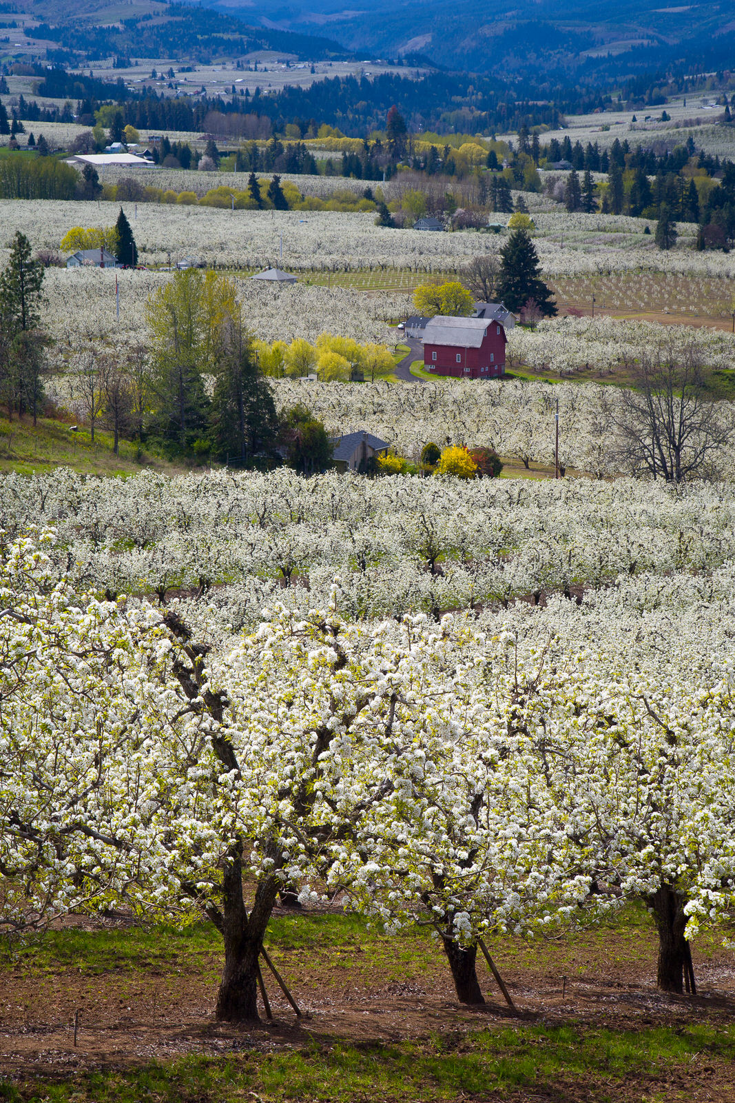 Orchards in bloom in Hood River, Oregon