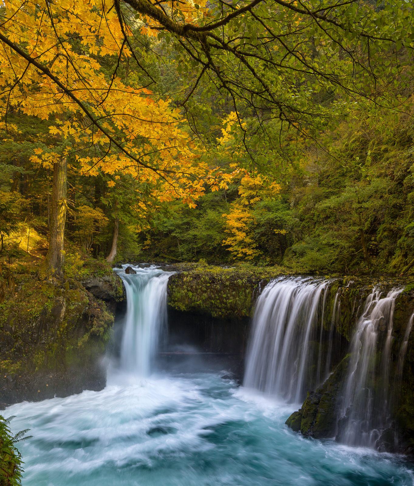 Big leaf maple over Spirit Falls