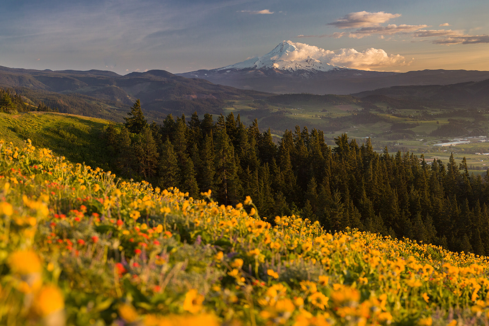 Wildflower panorama of Mt. Hood from the Whoopdee Trail