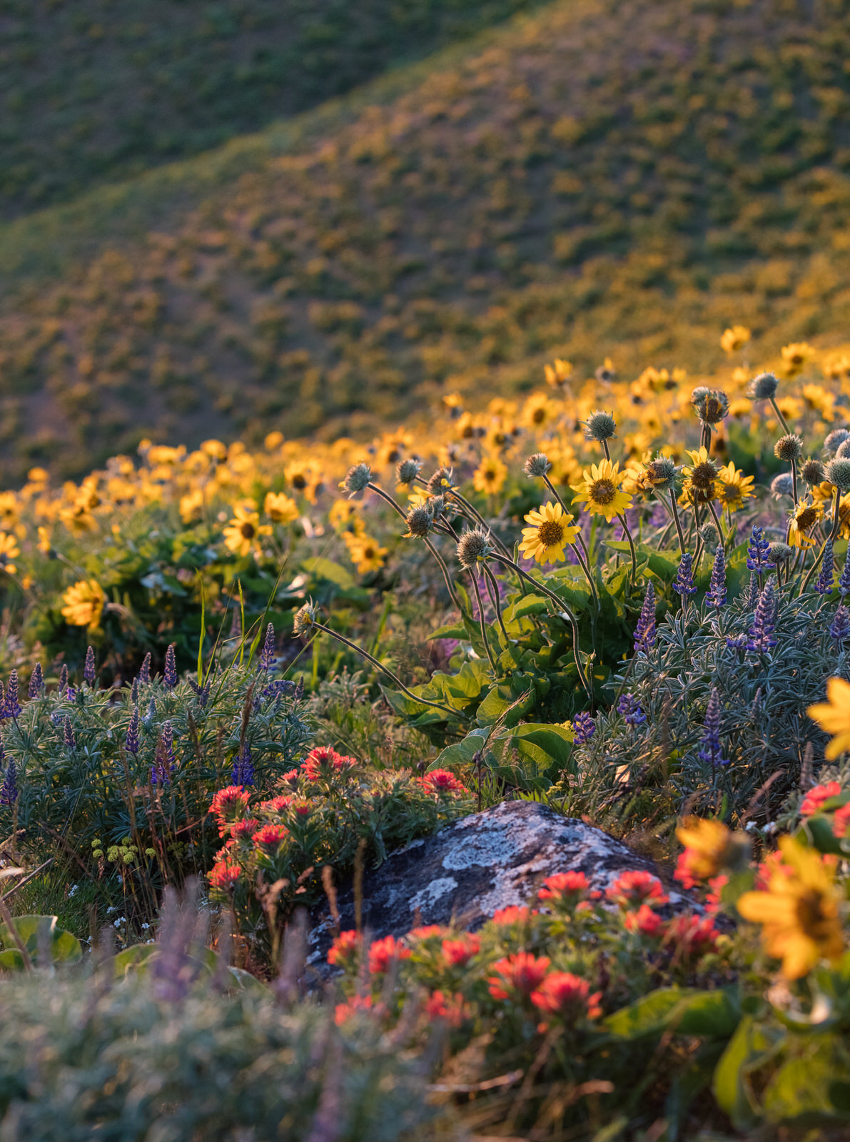 Blanket of wildflowers on the east hills