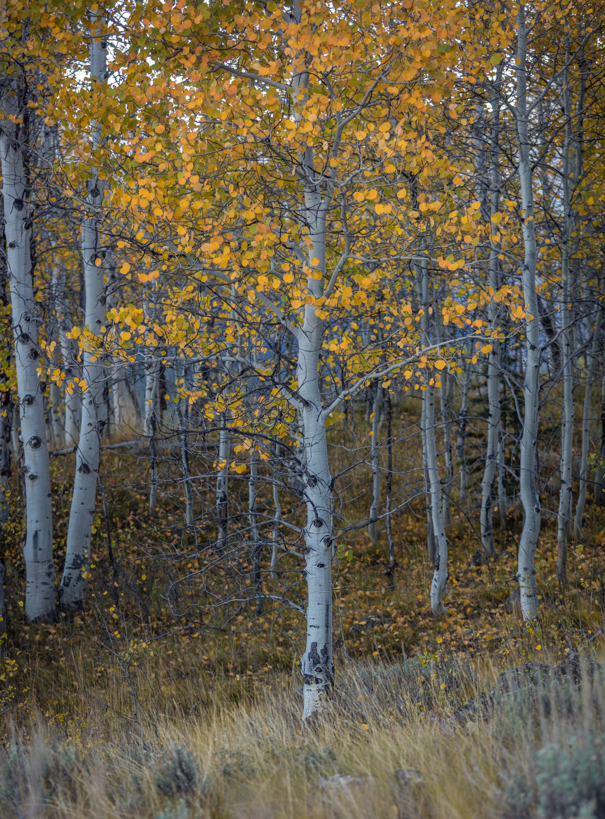 Aspen stand near Little Redfish Lake