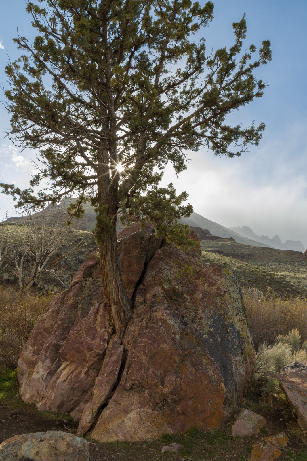 Juniper Tree Growing out of a Rock in the Steens Mountains