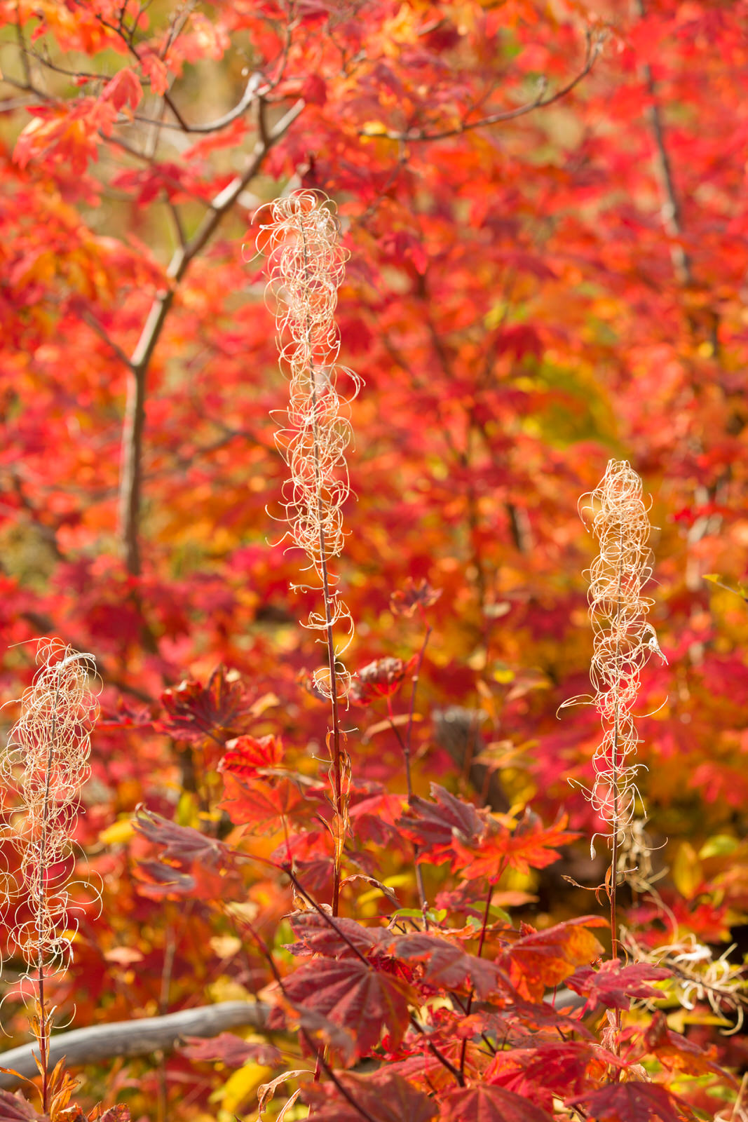 Red maple leaves and dried fireweed