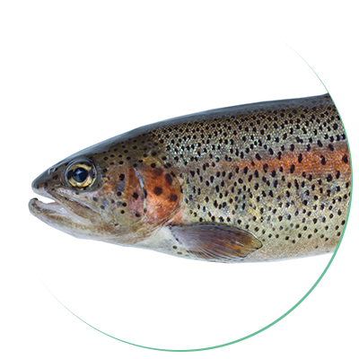Copy of Rainbow Trout