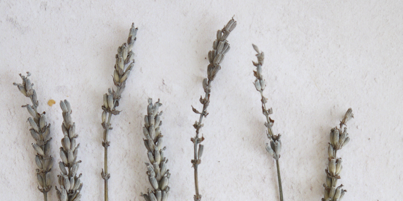 Dried lavender stems in a row