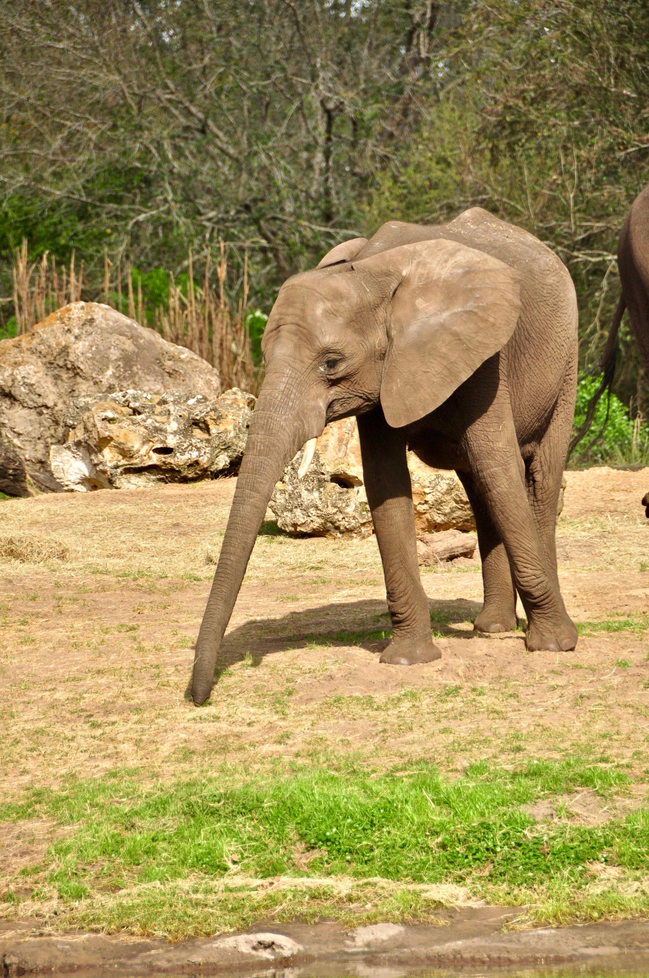 Disney's Wild Africa Trek - A Happy Passport #disneyworld #wildafricatrek #disney