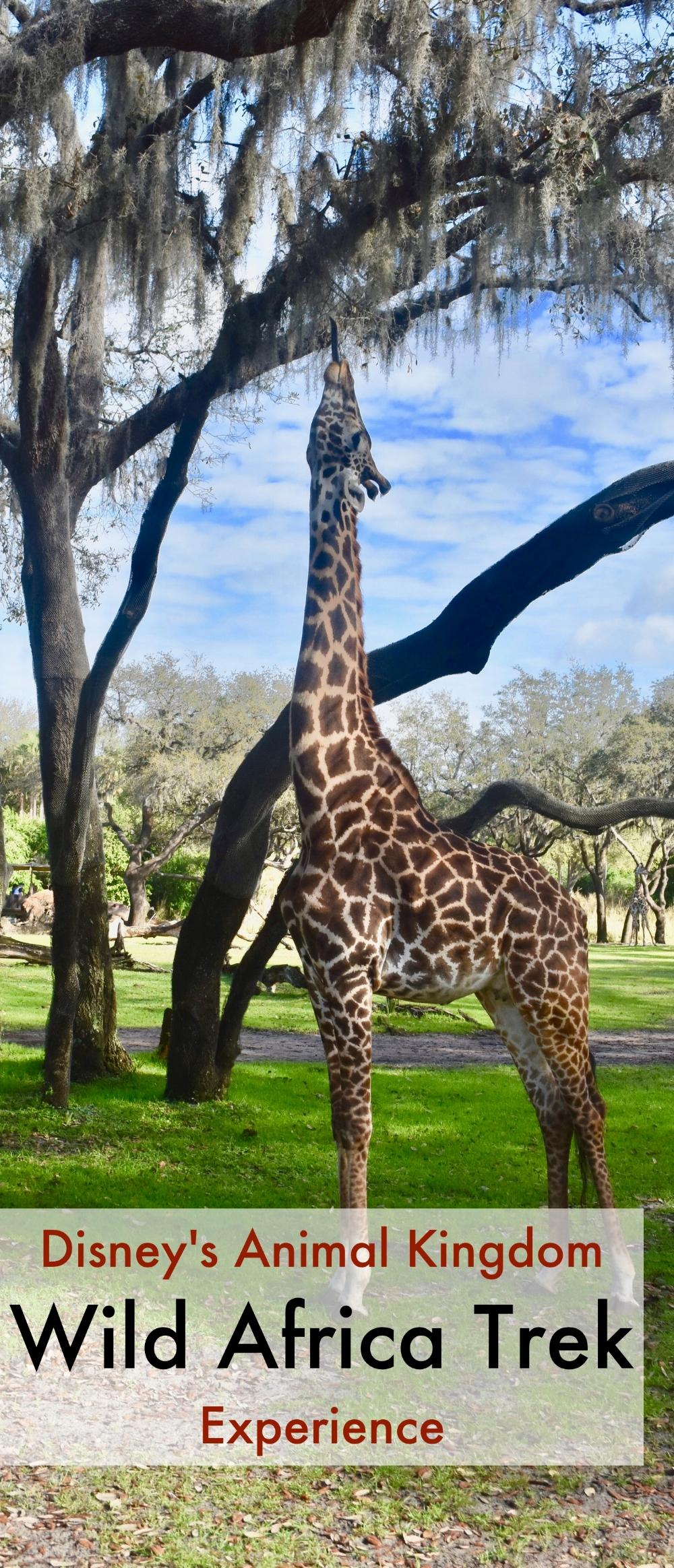 Disney's Animal Kingdom Wild Africa Trek Experience - A Happy Passport. #disneyworld #wildafricatrek #animalkingdom