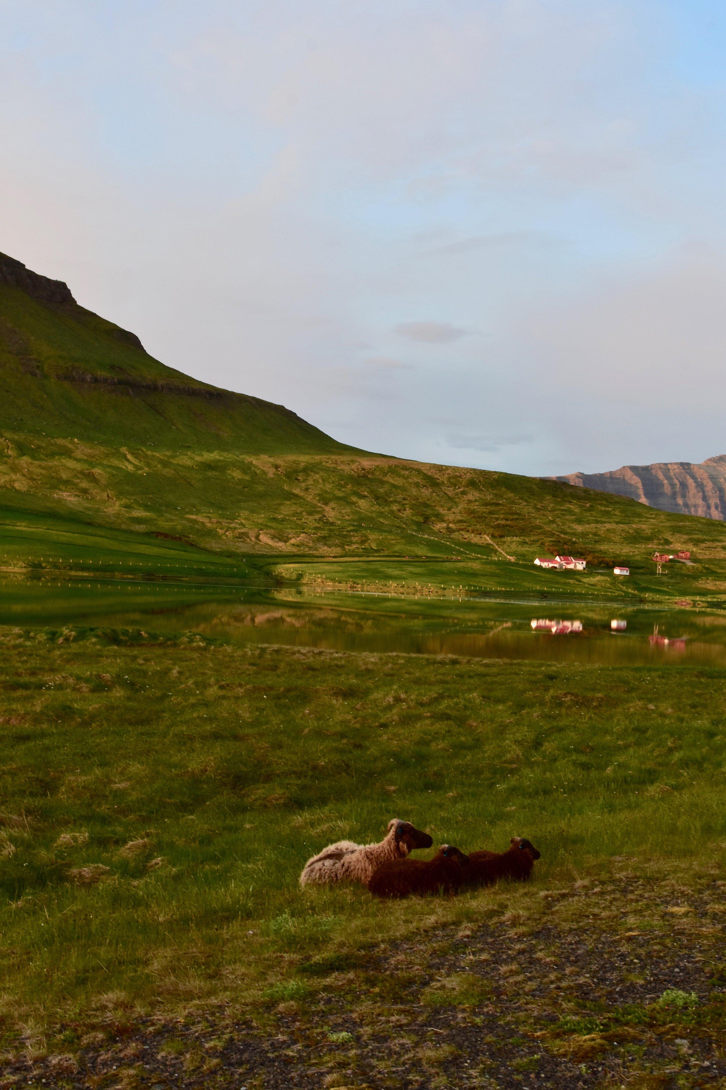 Sheep in front of Kirkjufell Mountain on Snæfellsnes Peninsula, Iceland