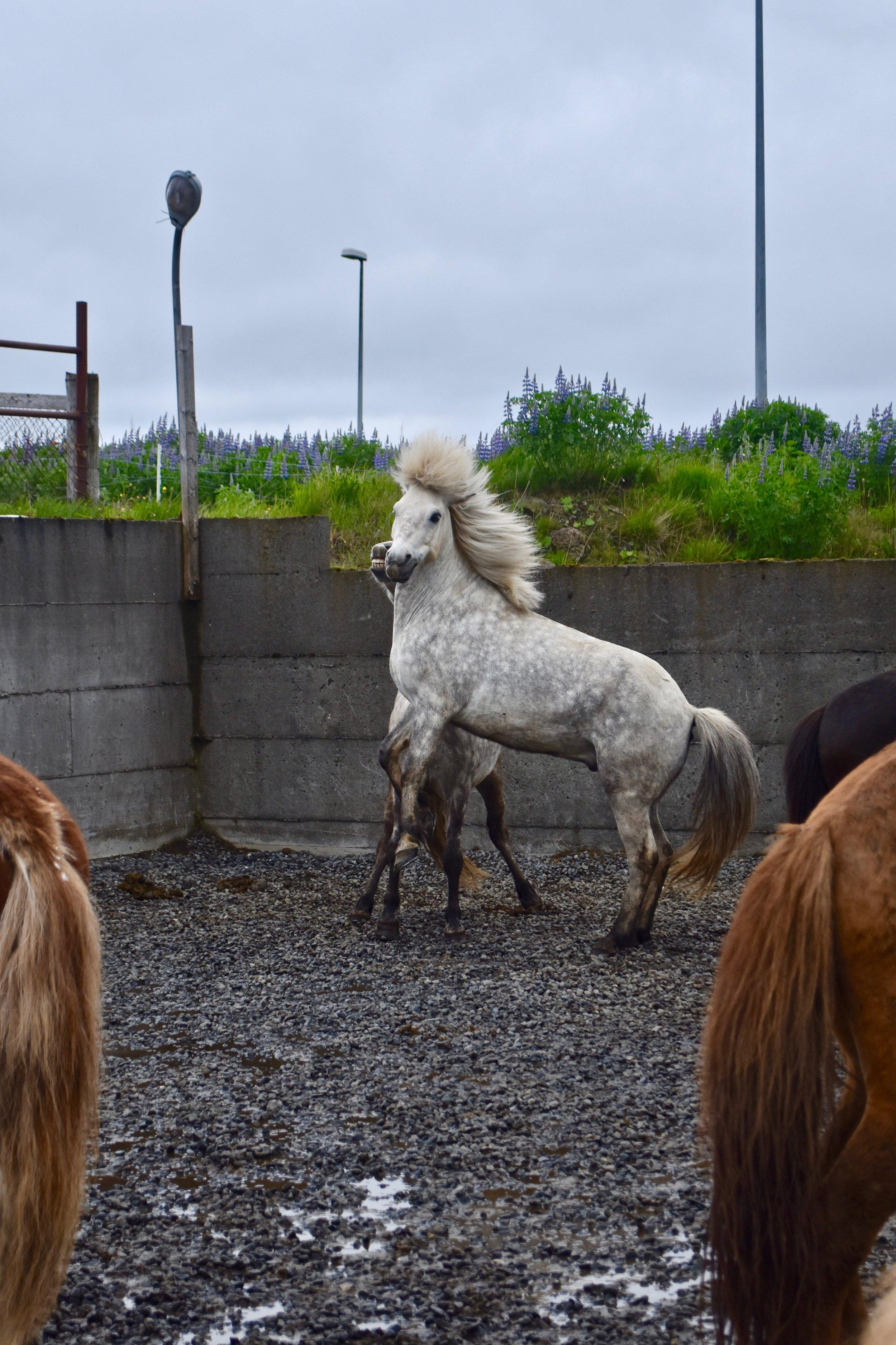 Horseback Riding on Icelandic Horses