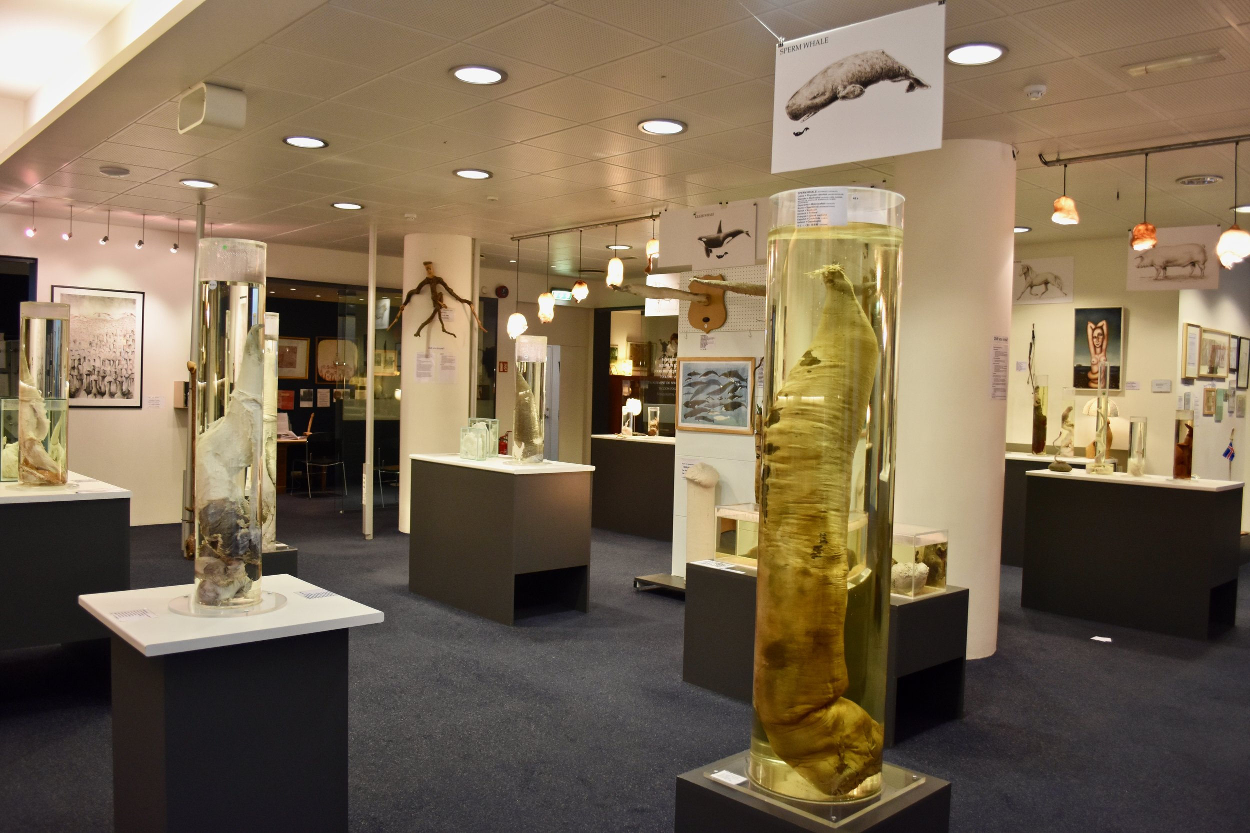 The Icelandic Phallological Museum in Reykjavik, Iceland