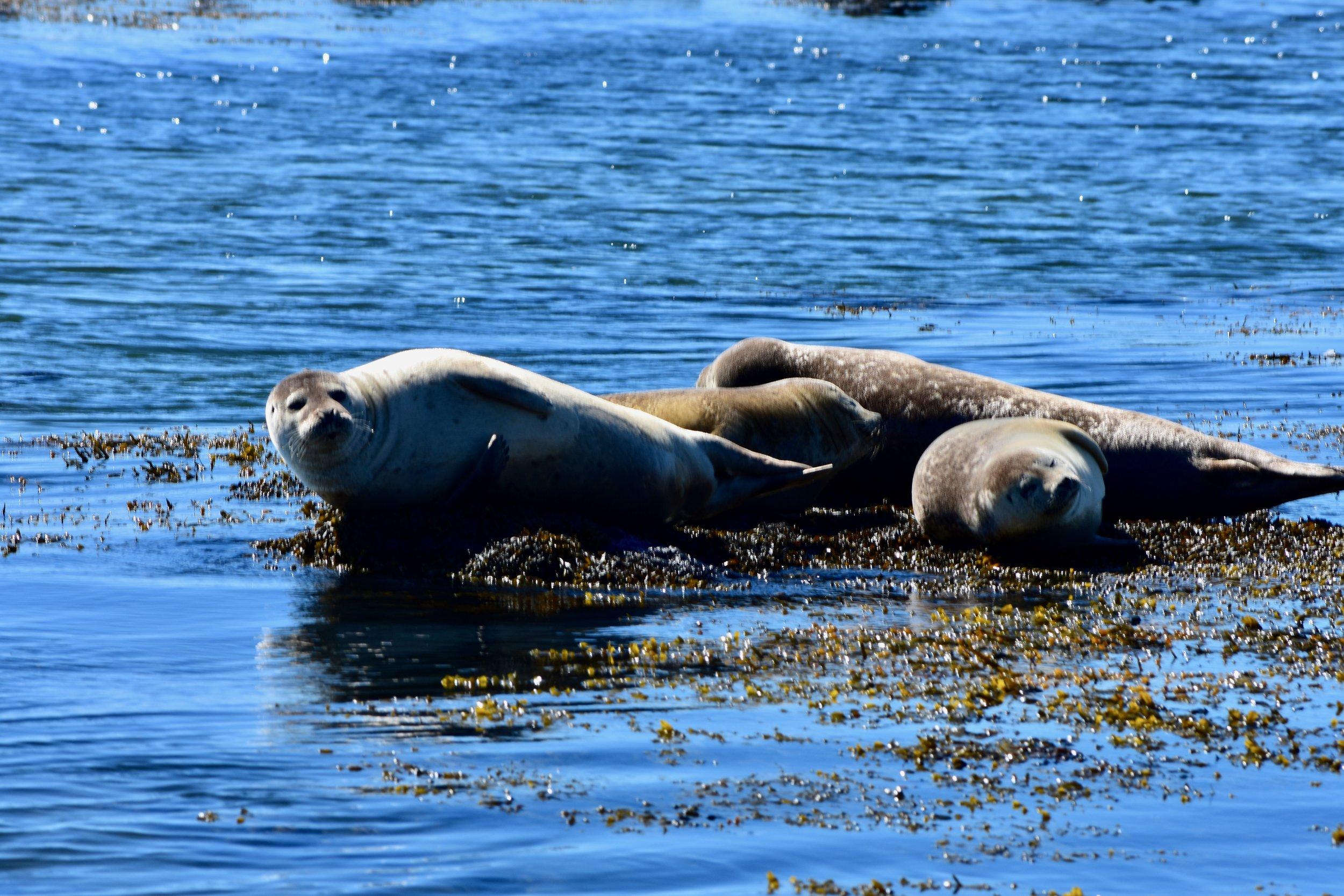 Seals at Ytri Tunga