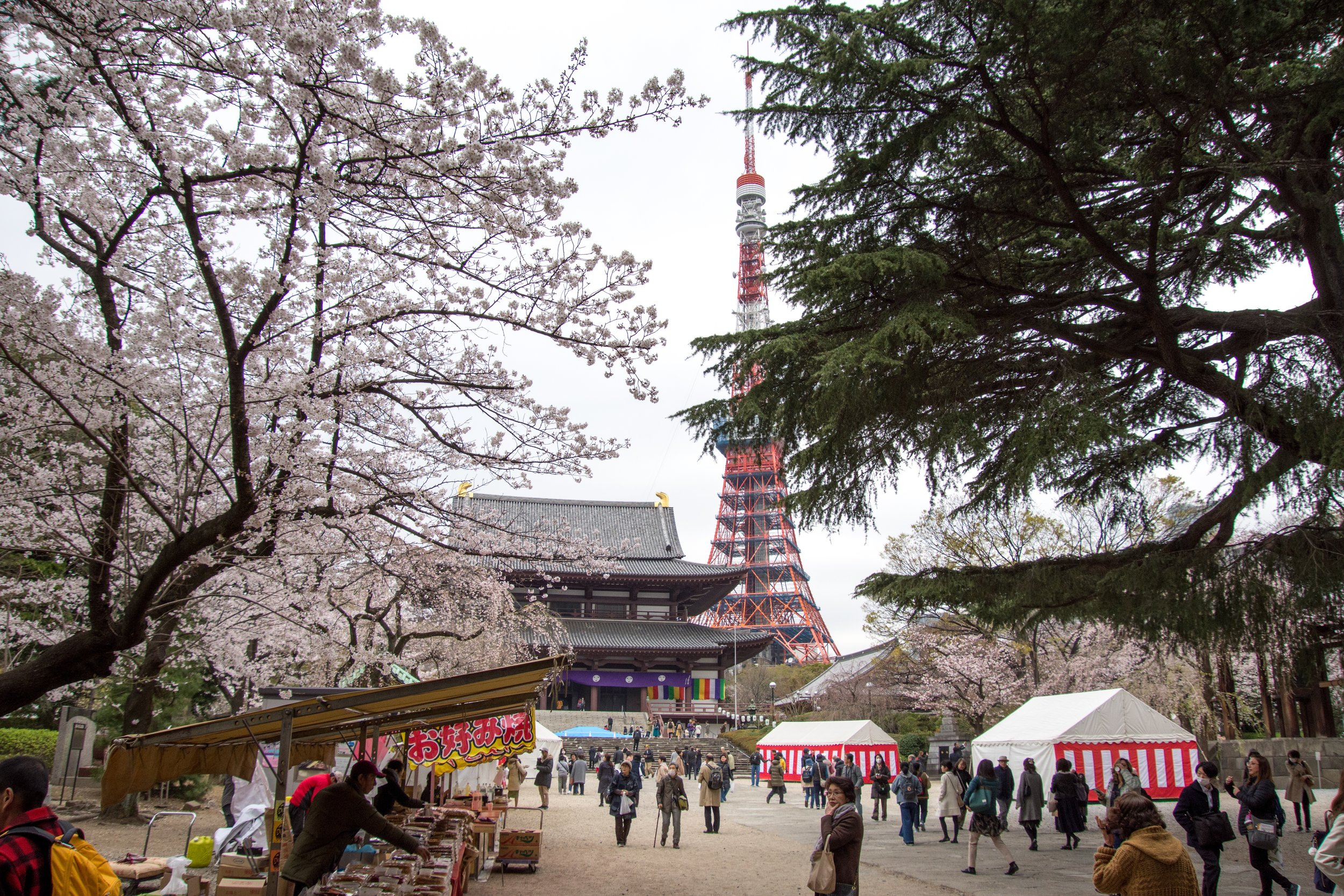 Cherry Blossoms at Tokyo Tower