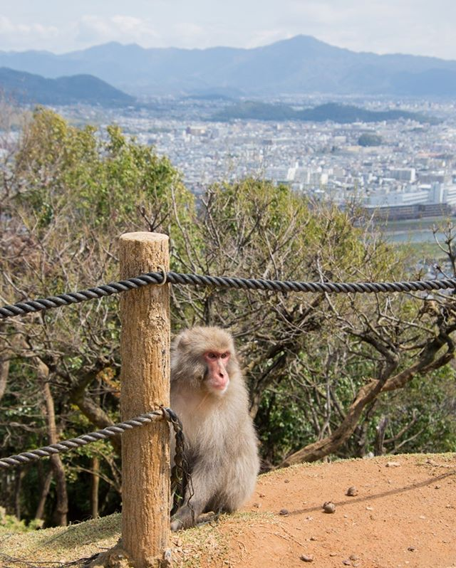 The wild monkeys of Arashiyama overlooking Kyoto.  After a 30 minute steep climb, we were greeted by dozens of free-roaming Japanese macaque monkeys. ⠀⠀⠀⠀⠀⠀⠀⠀⠀ 📍Kyoto, Japan⠀⠀⠀⠀⠀⠀⠀⠀⠀ ___⠀⠀⠀⠀⠀⠀⠀⠀⠀ #arashiyama #kyoto #japan #macaque #monkeys #japanesemacaque #kyotojapan #japanese #hike #wildmonkeys #wildanimals #freeroaming #mustseekyoto #kyotomustdo #japanhighlights #ahappypassport #iwatayama #monkeypark #monkeyparkiwatayama #traveltheworld #travelphotography #travelblog #travelwriter #travels #visiting #worldplaces #passportready #aroundtheworld #instago