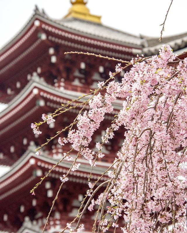 📍Sensō-ji, Tokyo, Japan⠀⠀⠀⠀⠀⠀⠀⠀⠀ __⠀⠀⠀⠀⠀⠀⠀⠀⠀ #cherryblossoms #spring #nature #japan #sensoji #sensojitemple #temple #buddhisttemple #cherryblossom #blooms #pink #culturaljapan #culture #asakusa #tokyo #historictokyo #historical #ahappypassport #travelmore #instatravel #tourism #exploretheworld #getaway #wanderlusting #mustseepic #passportlife #adventure_time #trip