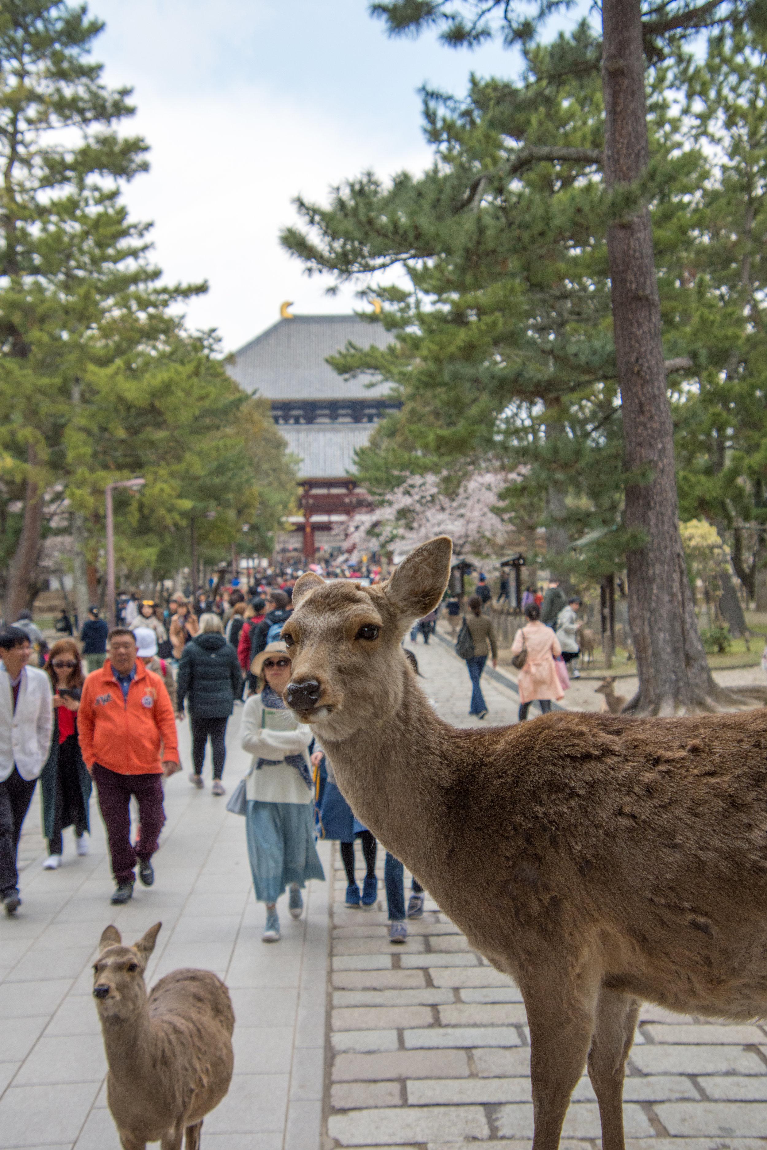 Pregnant Deer in Nara, Japan
