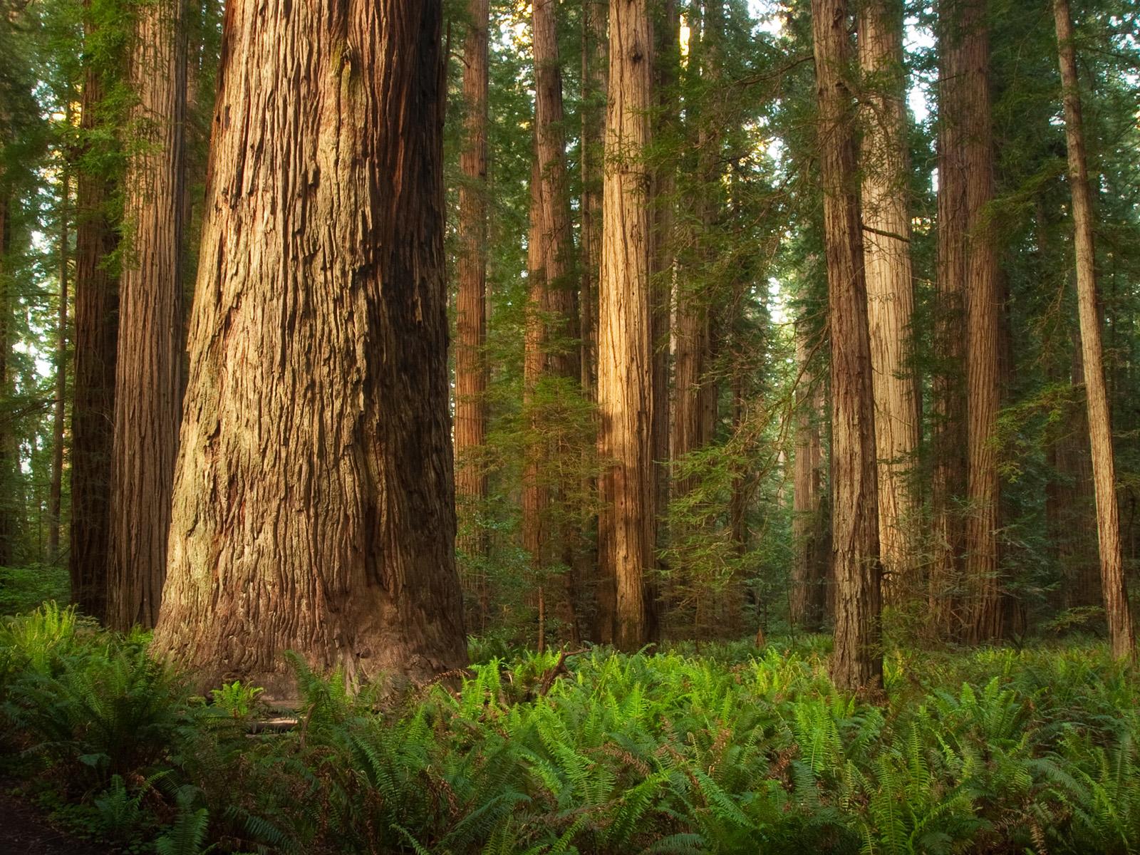 i-delightful-redwoods-in-california-near-san-francisco-redwoods-in-california-coast-redwoods-in-california-close-to-san-francisco-redwoods-in-california-near-san-francisco-redwoods-in-california.jpeg