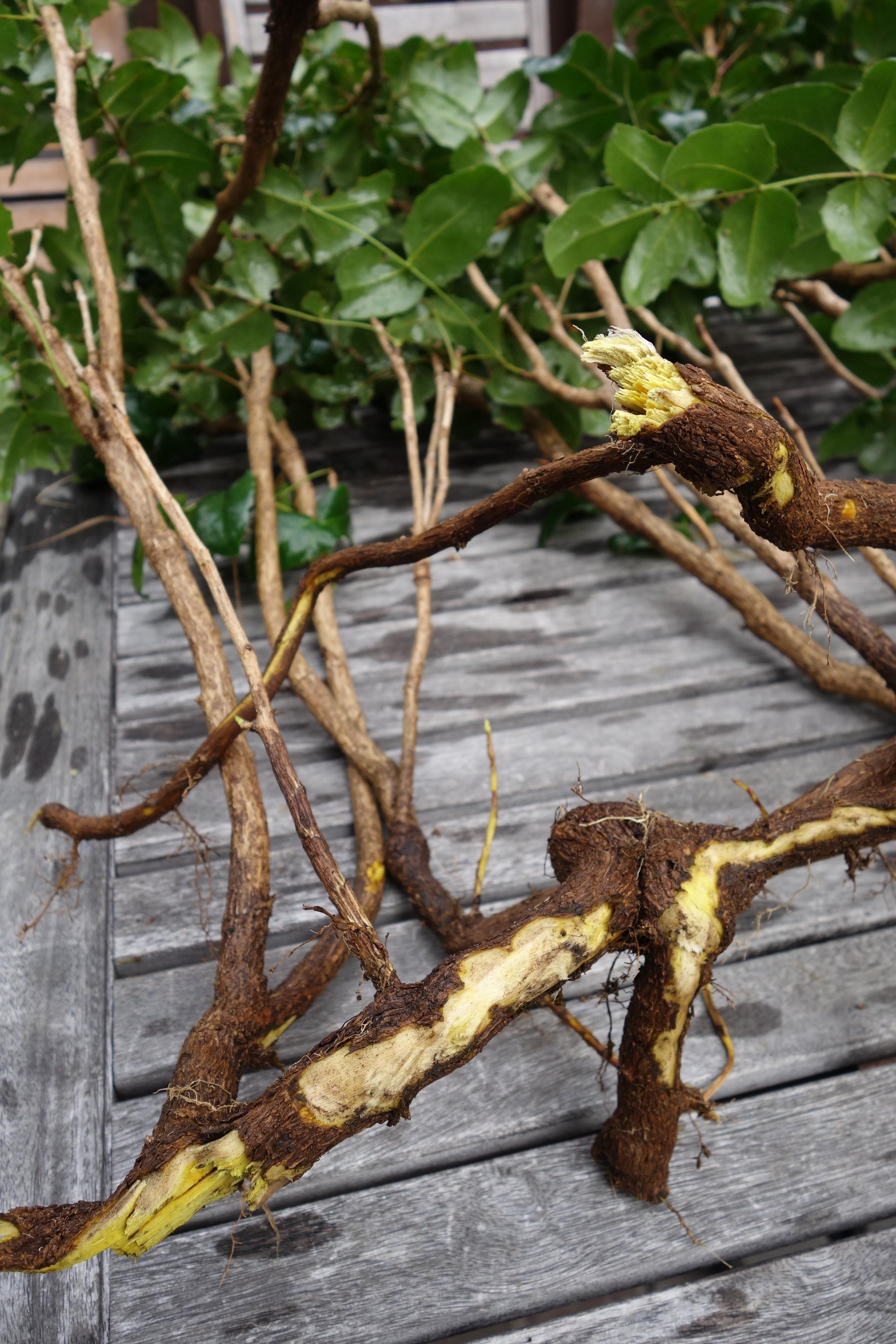 Oregon Grape ( Mahonia Aquifolium)
