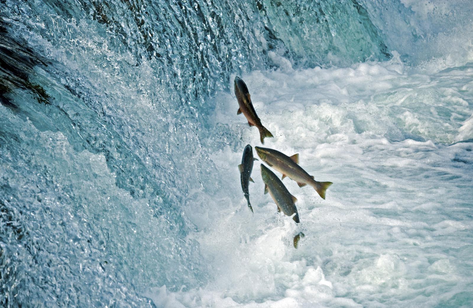 PortHope_FishMigration.jpg