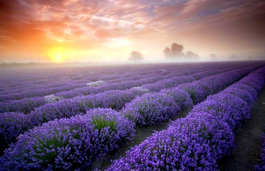 TheWalton_Lavender.jpg
